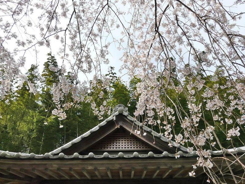090329等覚寺しだれ桜3
