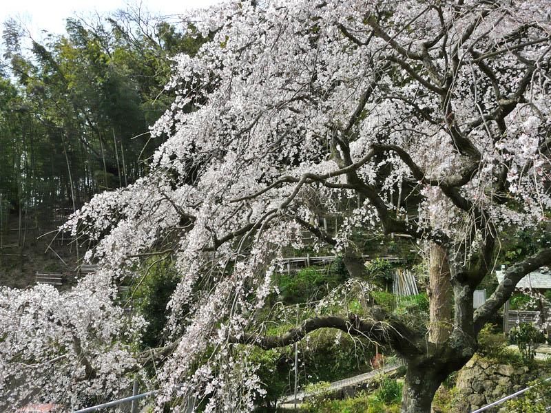 090329等覚寺しだれ桜4