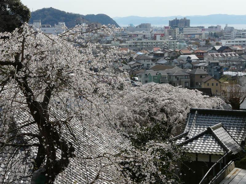 090329等覚寺しだれ桜5