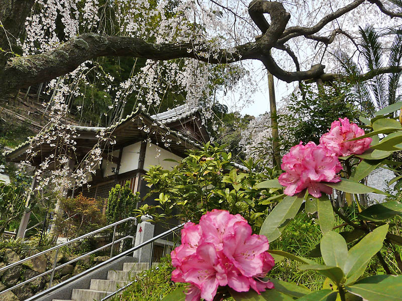 090329等覚寺しだれ桜7