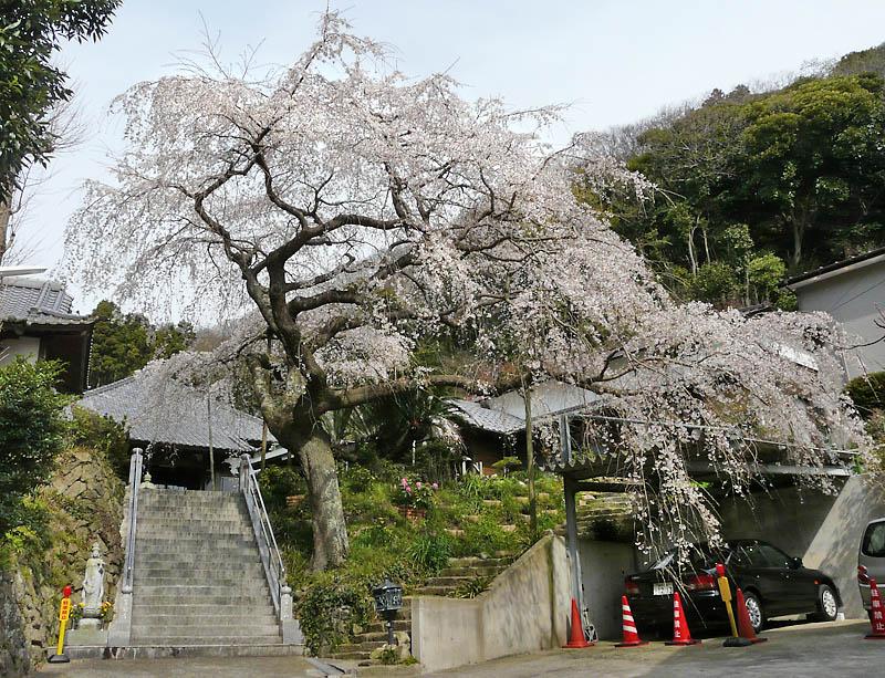 090329等覚寺しだれ桜1+