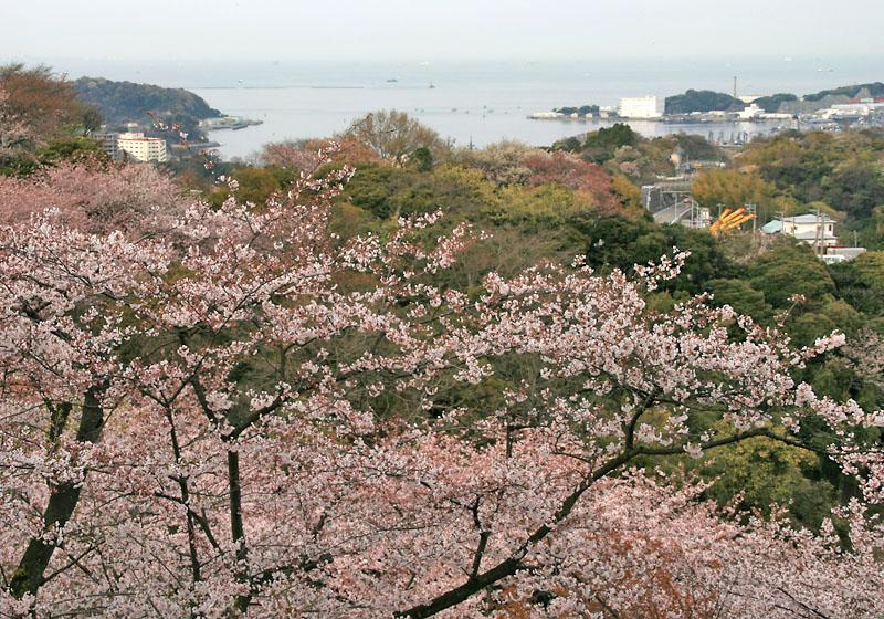 090405塚山公園桜2