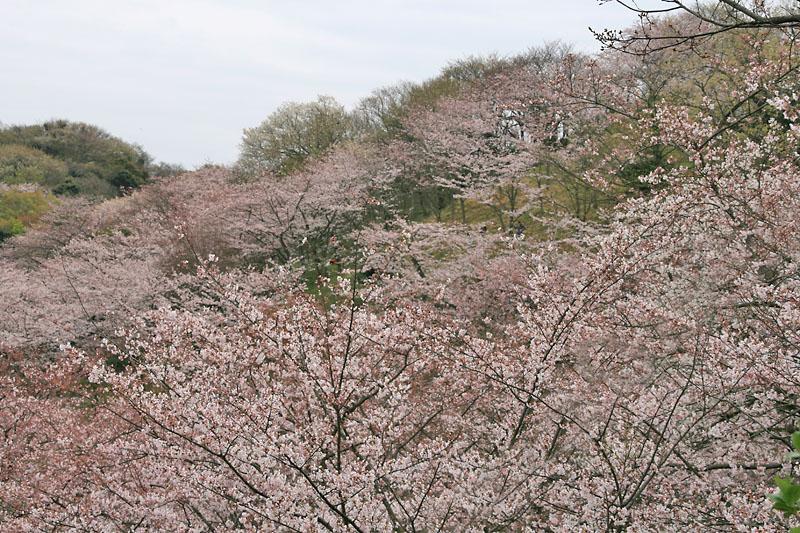 090405塚山公園桜3