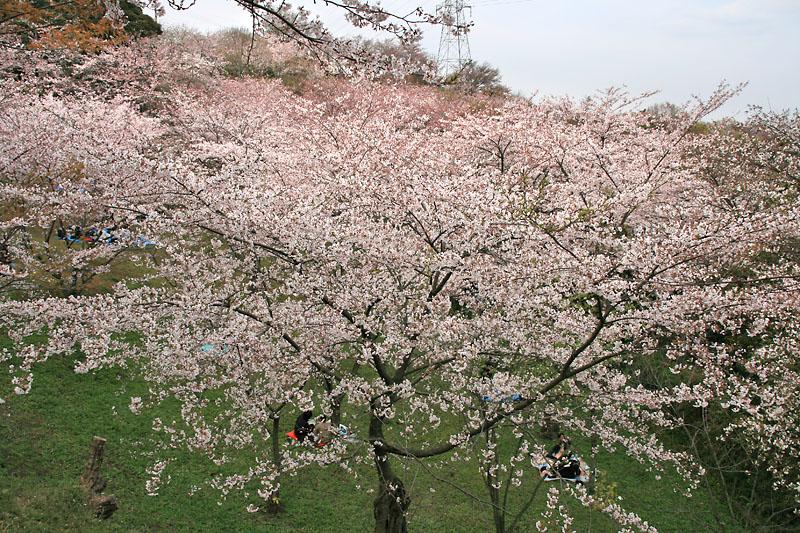090405塚山公園桜4