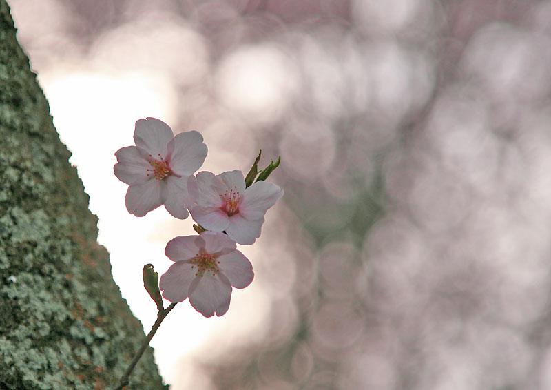 090405塚山公園桜5