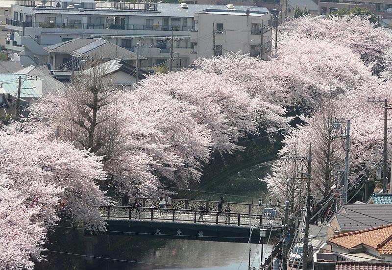 090406大岡川の桜2