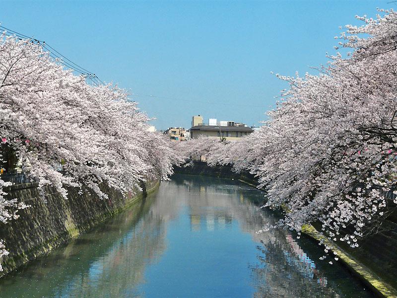 090406大岡川の桜3
