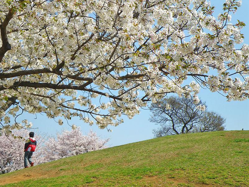 090407榎の丘と桜3