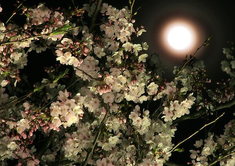 090408満開と満月