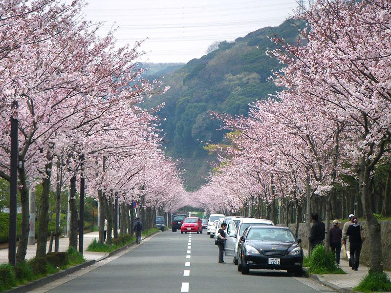090405花の国への桜道1