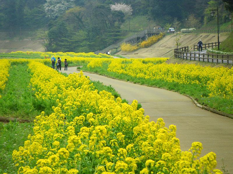 090405花の国への桜道3