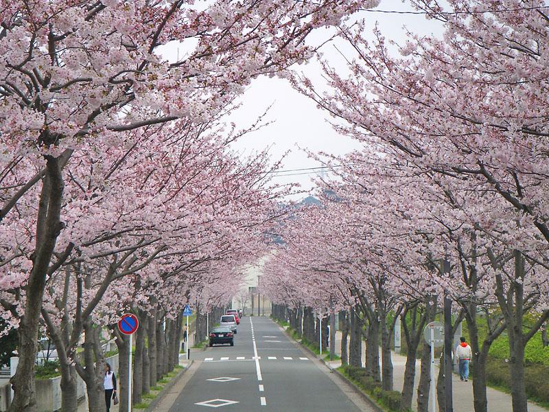 090405花の国への桜道4