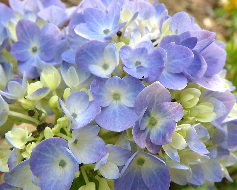 090418ライラックの花4