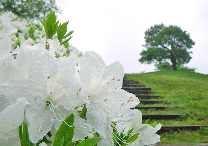 0425雨の榎の丘4
