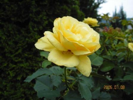 「少しお年を召した薔薇