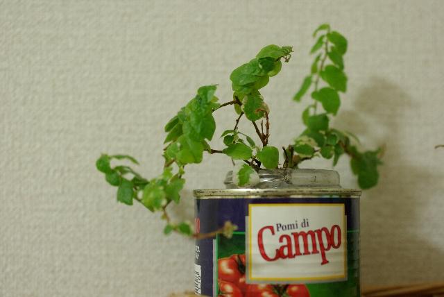 缶詰から生える植物