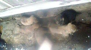090111保護された子犬10頭