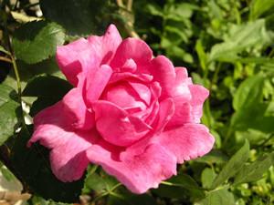 rosa090514d