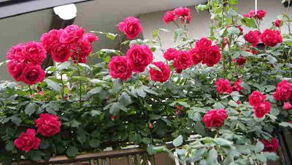 rosa090516bbb