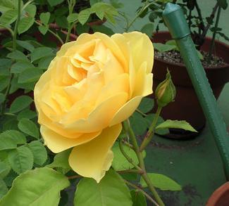 rosagrahamthomas0805b