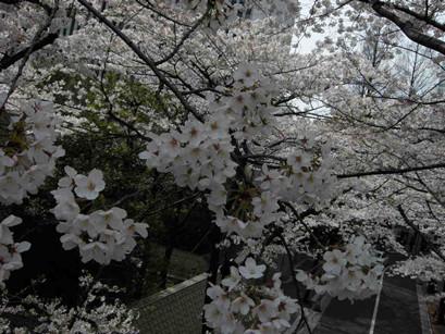 sakura-ropongi01