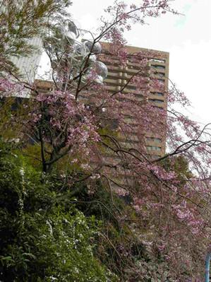 sakura-ropongi02
