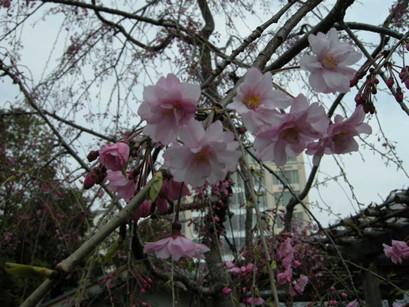 sakura-ropongi04
