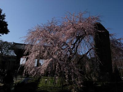 sakura-togoji01