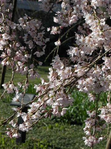sakura-togoji02