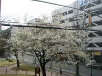 090918桜