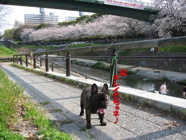 きれいな桜&ハルク