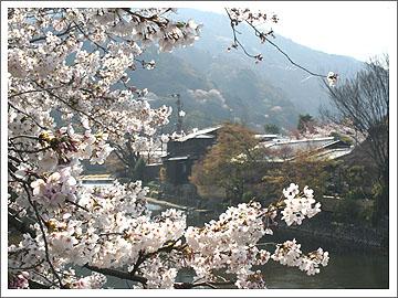中ノ島の桜