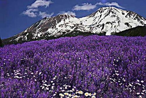 MT-Shasta-Lupines.jpg