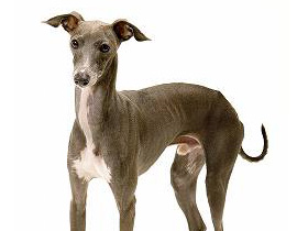 Italian_Greyhound_middle3.jpg
