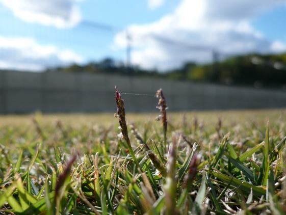 芝生に生える謎の草?
