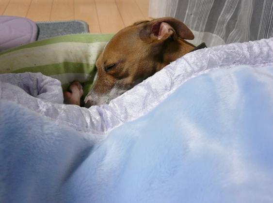トトと違って、自分で毛布に潜れないディオっち
