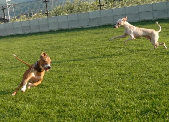 ディオはいつも嬉しそうに走ります