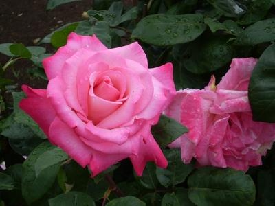 大輪の薔薇
