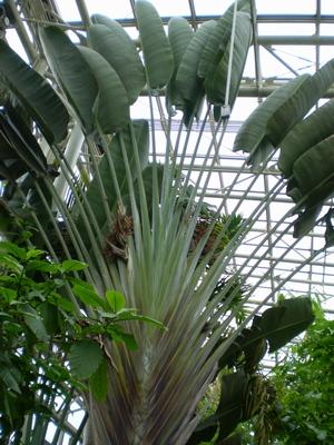 タビビトの木
