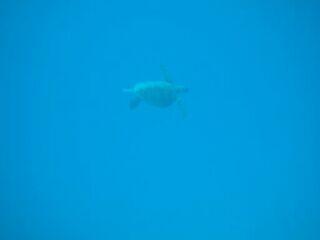 20120324アオウミガメ