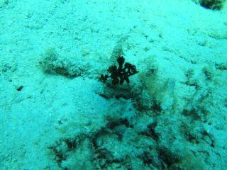20120323シロブチハタ幼魚