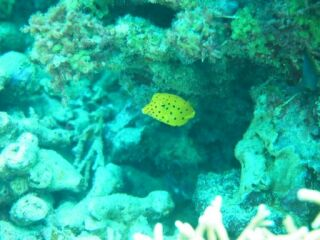 20120329コーラルミナミハコフグ幼魚