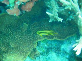 20120329ビーチヒレナガスズメダイ幼魚