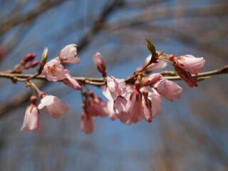 20120408三木山森林公園桜ズーム