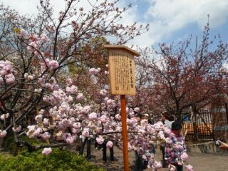 20120417通り抜け今年の桜小手鞠