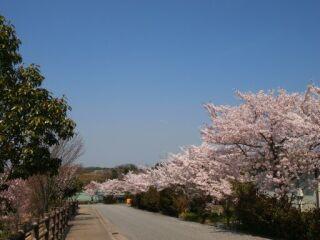 20120418フルーツフラワーパーク桜-1