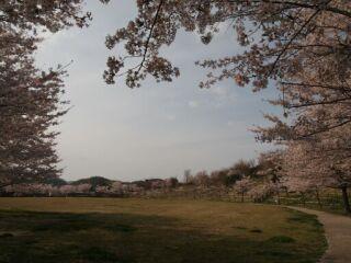 20120418フルーツフラワーパーク桜-2