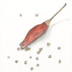 唐辛子の種