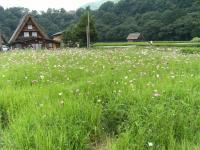 shirakawa_flower.jpg