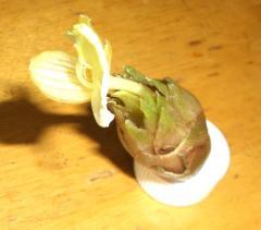 みょうがの花1